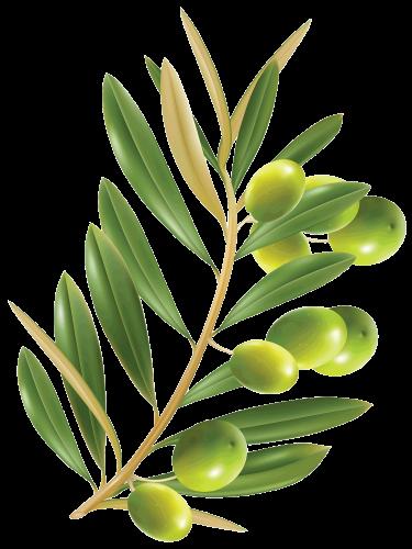 yeşil zeytin yağragi